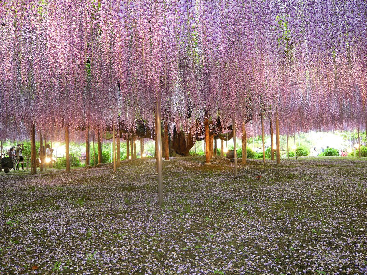 Ashikaga Flower Park- 13 Gorgeous Landscapes Around The World