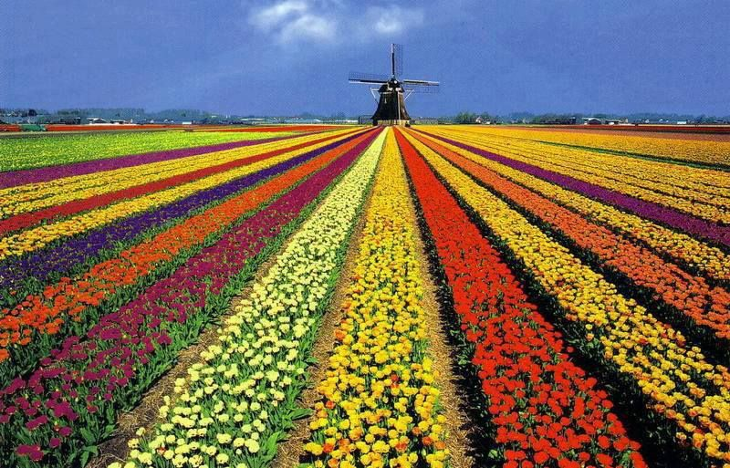 Tulip Fields in Holland- 13 Gorgeous Landscapes Around The World
